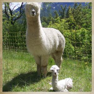 Alpaga-bébé-et-maman