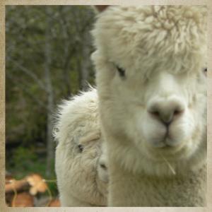Alpaga-qui-es-tu